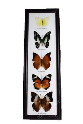 5 Real Butterflies Framed, Insect Wall Hanging, Bugs, Entomology, Home Decor NEW
