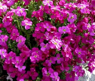 RED CASCADING ROCK CRESS Hanging Trailing Aubrieta Pink Perennial 50 Seeds