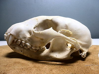 """""""some Kind Of Real Critter Skull""""  2 Available  Free Shipping!!"""