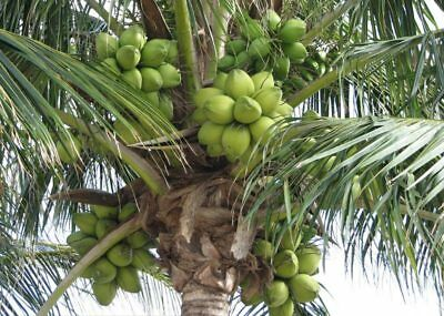 Dwarf Coconut Malay Gold or Green Pot Plant Rare Exotic