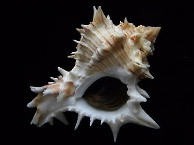Sea Shells Hexaplex fulvescens 109mm ID#3741B