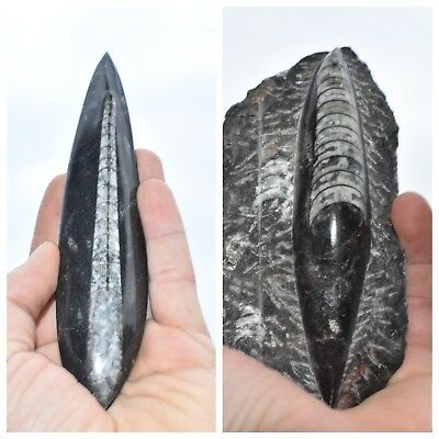 Moroccan Orthoceras Fossil Best Price