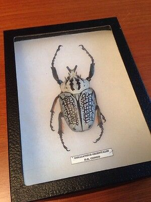 Goliathus Prientalis Beetle Full Body Mounted SHIPS FROM US