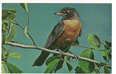 AMERICAN ROBIN Bird Cornell University Ithica New York POSTCARD NY Red Breast