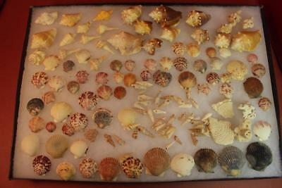 Lot Of 80+ Florida Decorative Sea Shells Welks Conch Scallops Auger Coral Color+