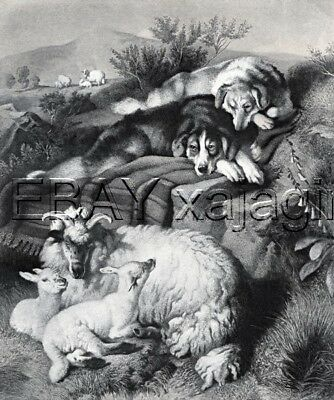 DOG Border Collie & Sheep, Gorgeous Landseer Antique Collotype Print 1870s