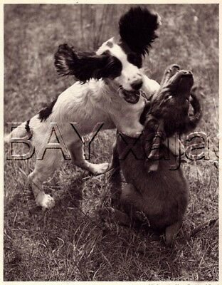 DOG Springer Spaniel & Irish Setter Puppies, Quality Vintage 1941 Print