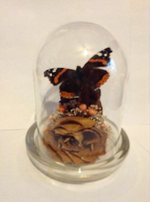 Lovely Smaller-Sized Glass Display Dome W/real Butterfly Taxidermy