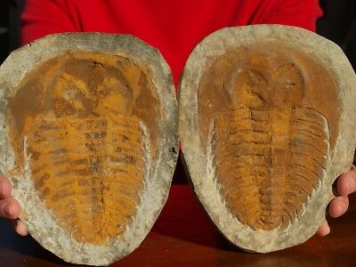 Huge7.5inch Trilobite Fossil Andalusiana Cambropallas positive and negative Pair