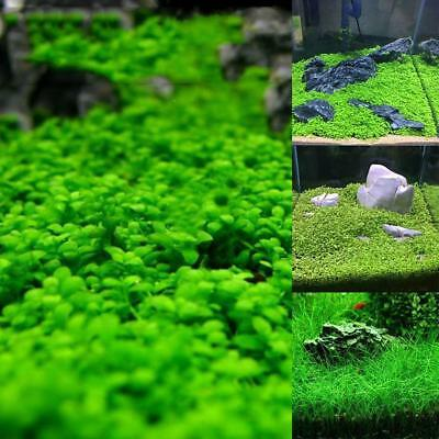 Fish Tank Aquarium Plant Seeds Aquatic Water Grass  Garden Foreground Plant LM
