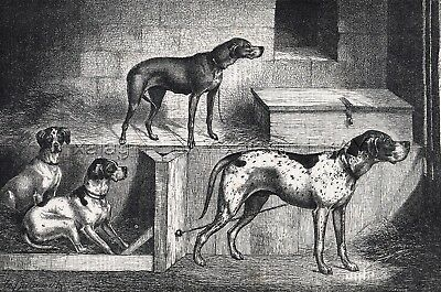 DOG German Shorthaired Pointer, Vizla, English, 1870s Antique Print & Article