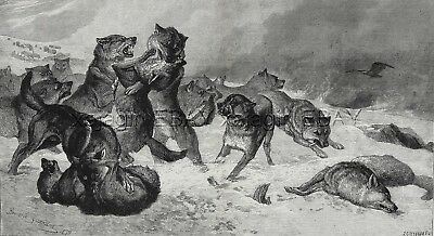 WOLF Wolves Fighting Each Other Snow, Winter Survival, Huge 1880s Antique Print