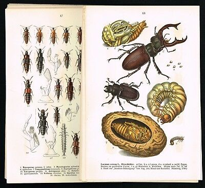 1909 Large Lot of 20x Antique Prints - Beetles, Coleoptera, Insects, Entomology