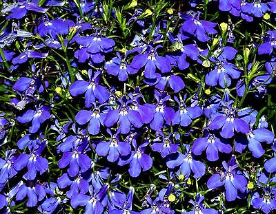 TRAILING LOBELIA Sapphire Deep Blue Spreading Hanging Annual 200 Seeds