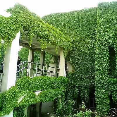 Spring Boston ivy Seeds Planted Green Parthenocissus Vibrant Wall Plants Seeds