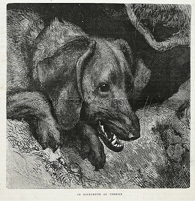 Dog Dachshund Growling At Entry to Burrow Den, 1880s Antique Print & Article
