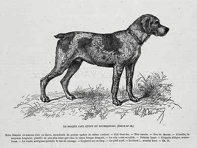 Dog French Bourbonnais Pointer 1870s Antique Engraving Print & Breed Description