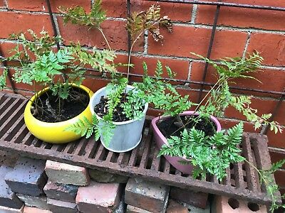 3 x Rabbit Foot Fern Plants - pickup Richmond 3121