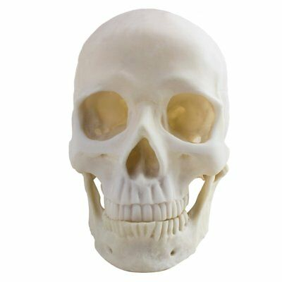 Life Size 1:1 Replica Realistic Human Skull Head Bone Model UK STOCK