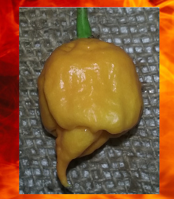 20 seeds YELLOW CAROLINA REAPER Hottest Pepper on Earth Guinness World Record