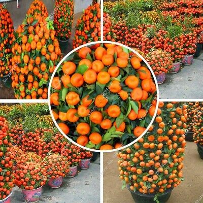 10 Pcs Orange Seed Heirloom Sweet Non-GMO Fruit Bonsai Tree High Germination