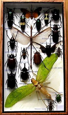 19 Real Mounted Insect Boxed Rare Insects Display Taxidermy Entomology Zoology