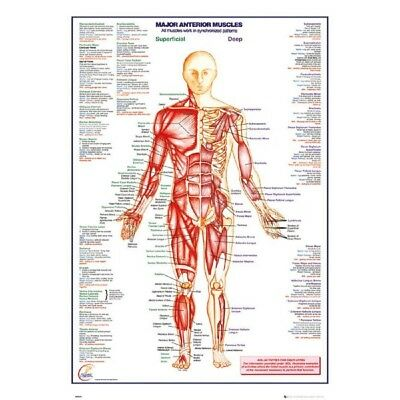 HUMAN BODY MAJOR ANTERIOR MUSCLES ANATOMY CHART Educational Free Fast Postage