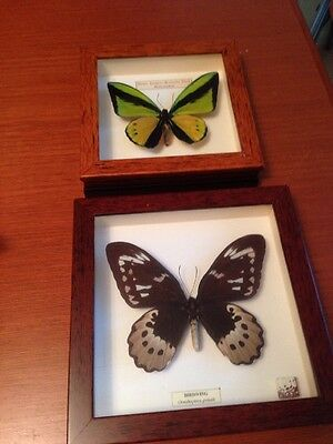 Pair of Birdwing Ornithoptera Goliath Butterflies in Display Cases From Malaysia