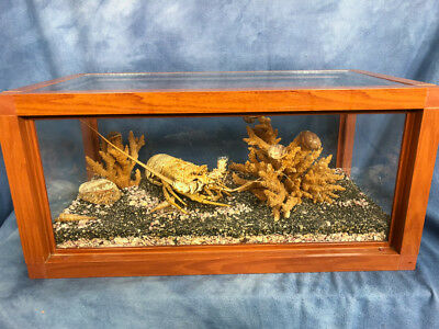 """Vintage Caribbean Spiny Lobster Taxidermy Molt with Coral in 21"""" Display Case"""