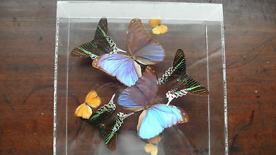 Tropical Taxidermy Butterflies in acrylic case signed Payton '90