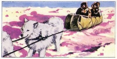 DOG Samoyed Sled Dog, Siberia Russia, Small 1970 Trading Card 40+ Years Old