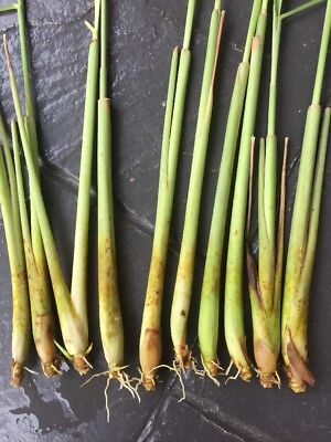 Lemongrass Plant x5 -- Organically Grown - Very hardy and drought Tolerance
