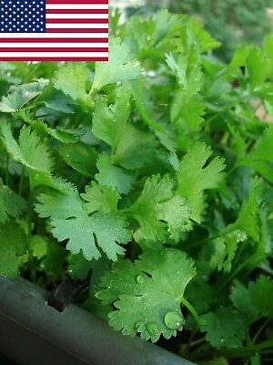 Cilantro Seeds- Organic- Coriander- Herb- 200+ Seeds Grown in 2017 for 2018