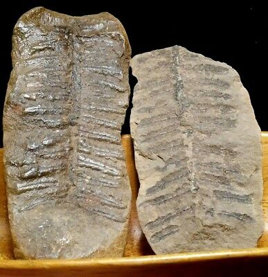 Natural Fern Fossil Frond Pair Shale Stone Missouri USA 144.8g. Well Preserved!