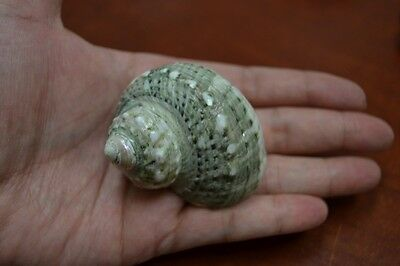 "Green Petholatus Jade Turbo Sea Shell Hermit Crab 1 1/2"" - 2"" #7381"