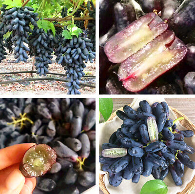 30pcs Very Rare Black Grape Seeds Bonsai Plants Non-Gmo Health Courtyard Fruit