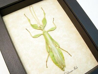 Real Framed Phyllium Celebicum Male Green Leaf Insect 7980m