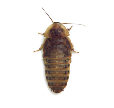 50 Extra Large Dubia Roaches - Ships Same Day Free