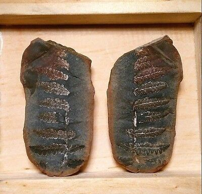 """Beautiful Natural 2.1"""" Fern Fossil Pair in Shale Wonderful Color Missouri 51.8g."""