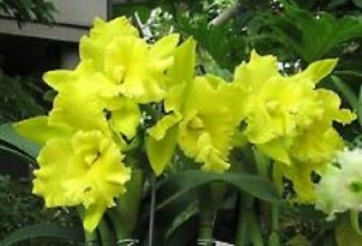 Orchid Cattleya.Rlc Ta Shang Yellow Dragon 'Pu Ti Gold'