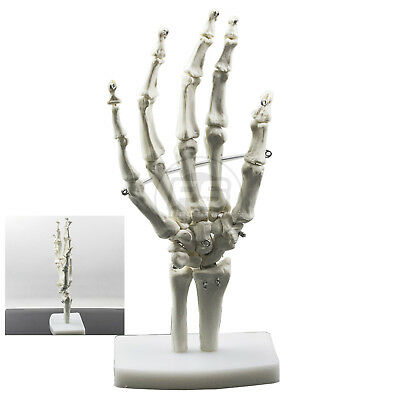 1:1 NEW Hunam Hand Model Human Hand Joint Skeleton Model  Learning Resources