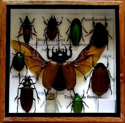 10 Real Insect Rare Insects Display Taxidermy in Wood Box Collectible Gift