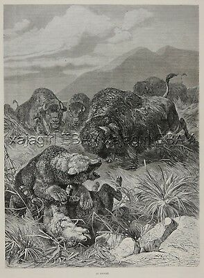 Bison American Buffalo Vs. Grizzly Bear, Large 1880s Antique Print & Article