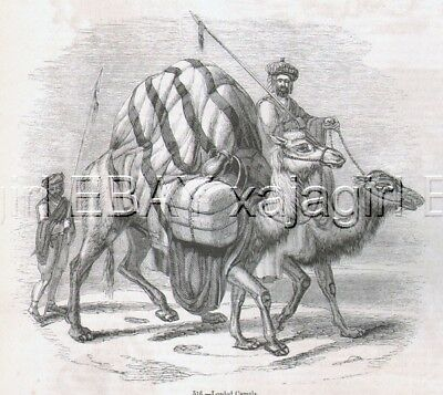 CAMEL Dromedary, 7 Views, Nice Antique 1840s Print
