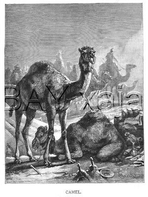 CAMEL Dromedery at Camp, Large Antique 1890s Print