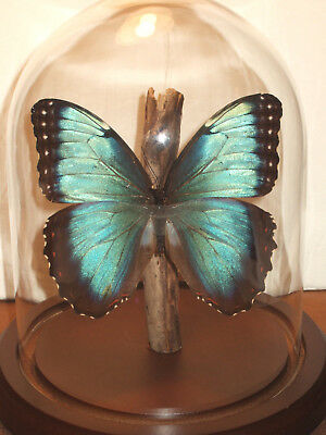 Morpho helenor narcissus Butterfly Dome