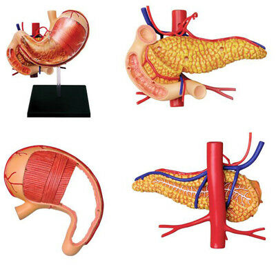 Body Model Human Anatomica Stomach Models Medical School Educational Toys 250g