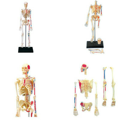 Body Model Human Anatomical Anatomy Skeleton Models Medical School Educational