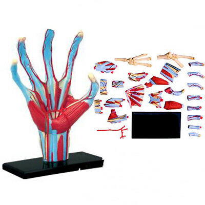 Body Model Human Anatomical Anatomy Hand Models Medical School Educational Toys