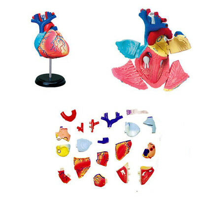 Body Model Human Anatomical Visceral Anatomy Heart Models Medical School 250g